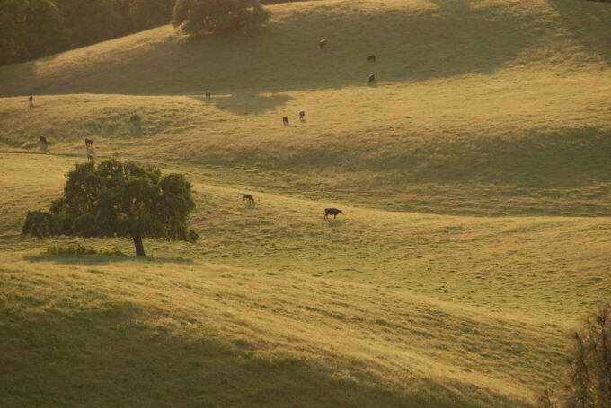 ModernJeeper Del Albright photo of cattle grazing in immense grassland meadow and pasture.