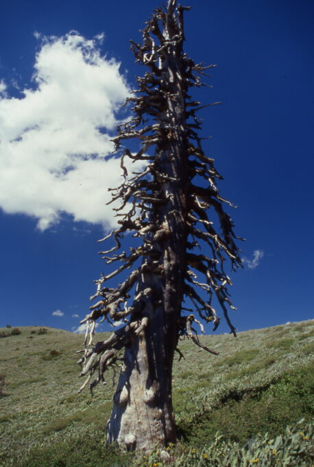 Weathered tree snag in high elevation Sierra Nevada mountains by Del Albright.