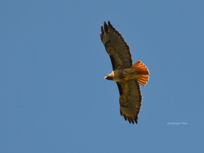 Del Albright photo of Red Tailed Hawk in flight.